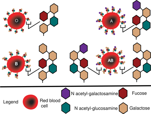 795px-ABO_blood_group_diagram.svg