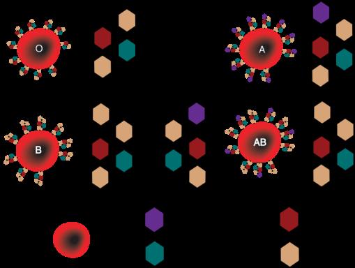 795px-ABO_blood_group_diagram.svg
