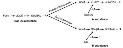 Mekanisme substansi H membentuk antigen A atau B